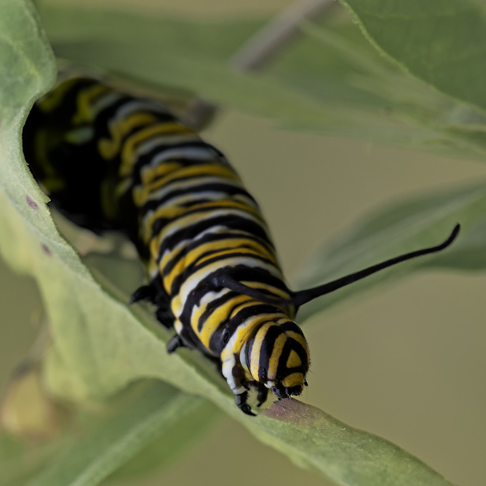 """Almost Time""<br /> (Monarch caterpillar - Danaus plexippus)"