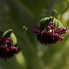 """""""Blooming""""<br /> (Haleakala Silversword -  Argyroxiphium sandwicense subsp. macrocephalum)"""
