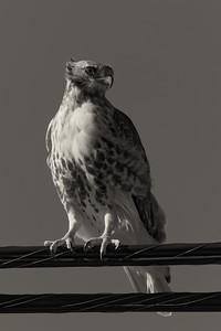 Red-tailed hawk - monochrome (Buteo jamaicensis)