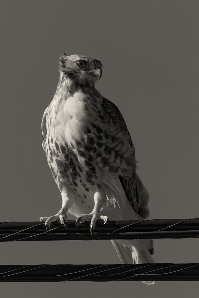 Red-tailed hawk - monochrome<br /> (Buteo jamaicensis)