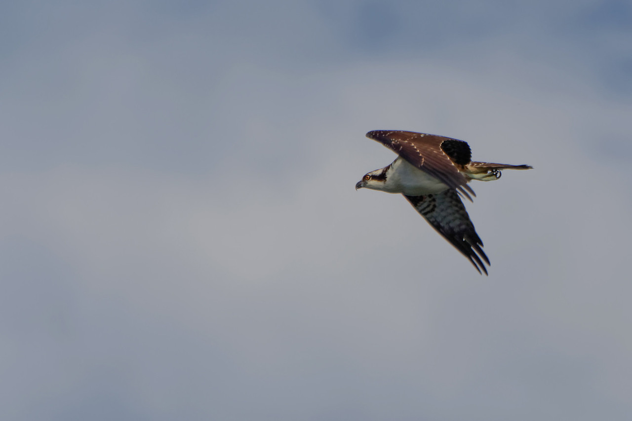 """Flight""<br /> (Osprey - Pandion haliaetus)"