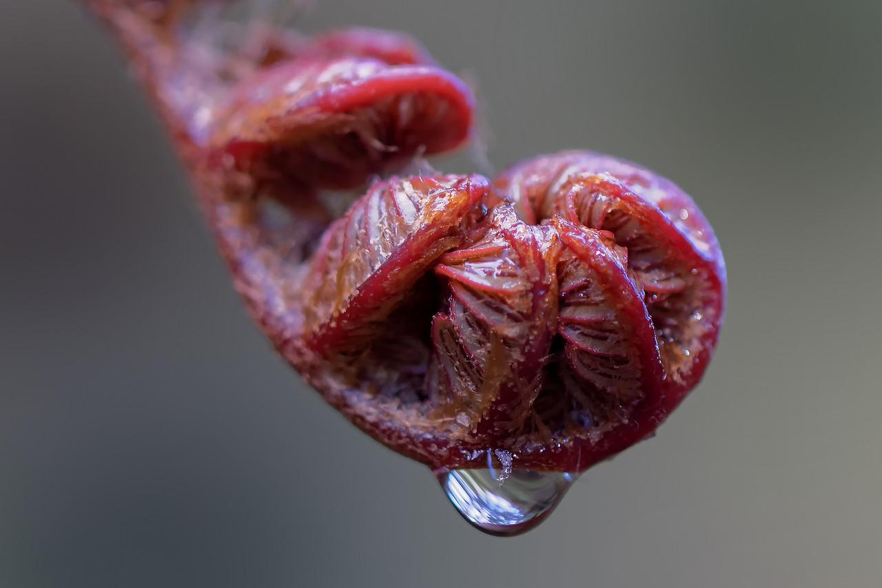 'Ama'u fern<br /> (Sadleria cyatheoides)