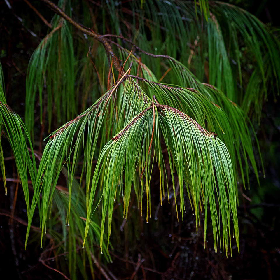 """Weeping Pine""<br /> (Courtesy Nature Conservancy)"