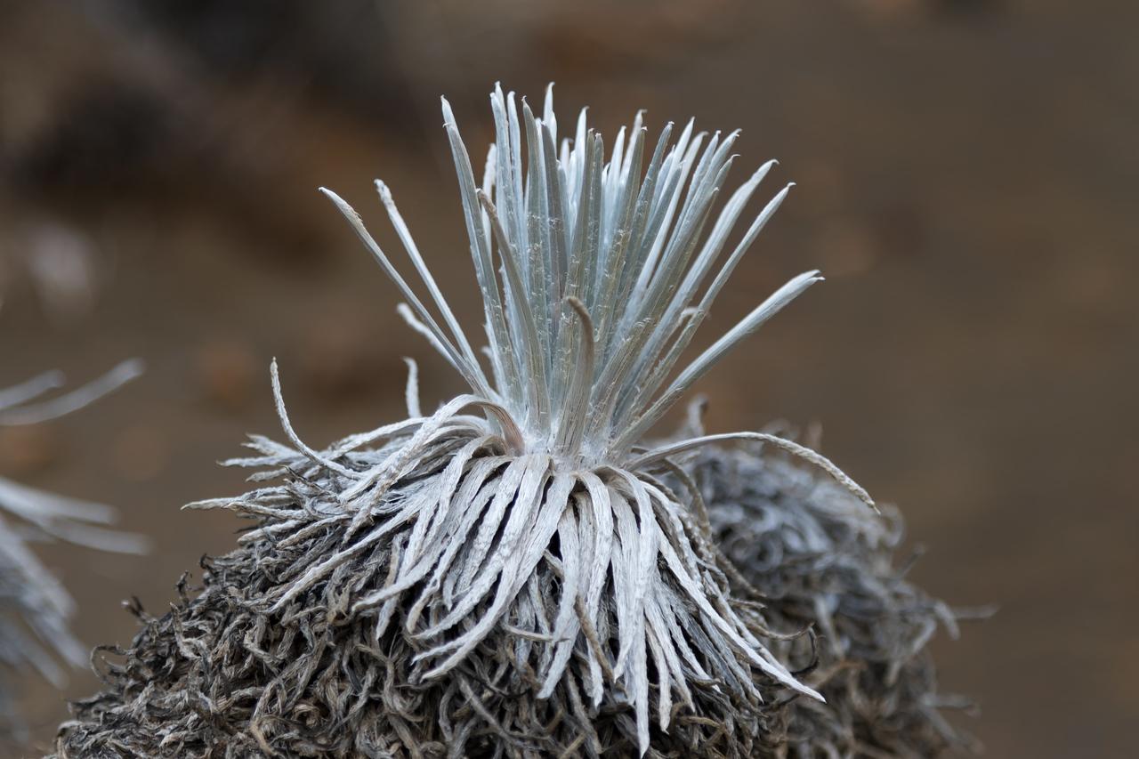 Mauna Kea Silversword<br /> (Argyroxiphium sandwicense subsp. sandwicense)