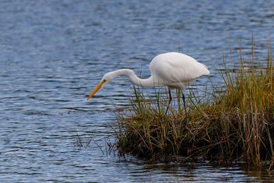 Great Egret (Ardea alba) Mystic, CT