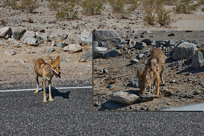 I have never been  this close to a coyote before! Driving in Death Valley this coyote was heading towards me on the road so I slowed down to take a look and instead of running away he just stopped and stood there looking so thirsty in 112 degree heat. So I pulled over and made a drinking container out of a paper cup. I filled it 6 times before he had enough and moved on.