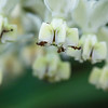 """Nectar"" - edit 2<br /> (Asclepias physocarpa)"