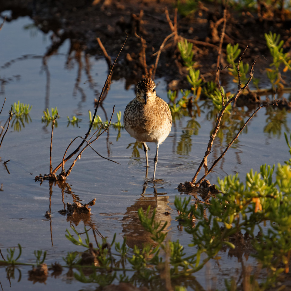 """""""Descendant""""<br /> (Kolea - Pacific Golden Plover - Pluvialis fulva)"""