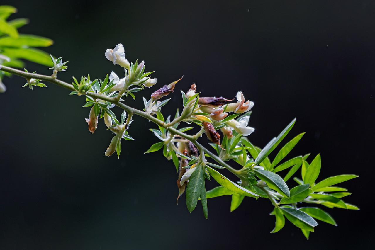 Cytisus palmensis<br /> (Courtesy Nature Conservancy)
