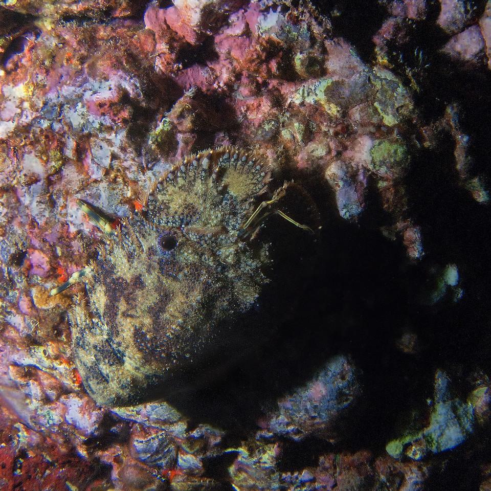 Sculptured Slipper Lobster<br /> (Parribacus antarcticus)