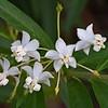 """Starflower""<br /> (Asclepias physocarpa)"