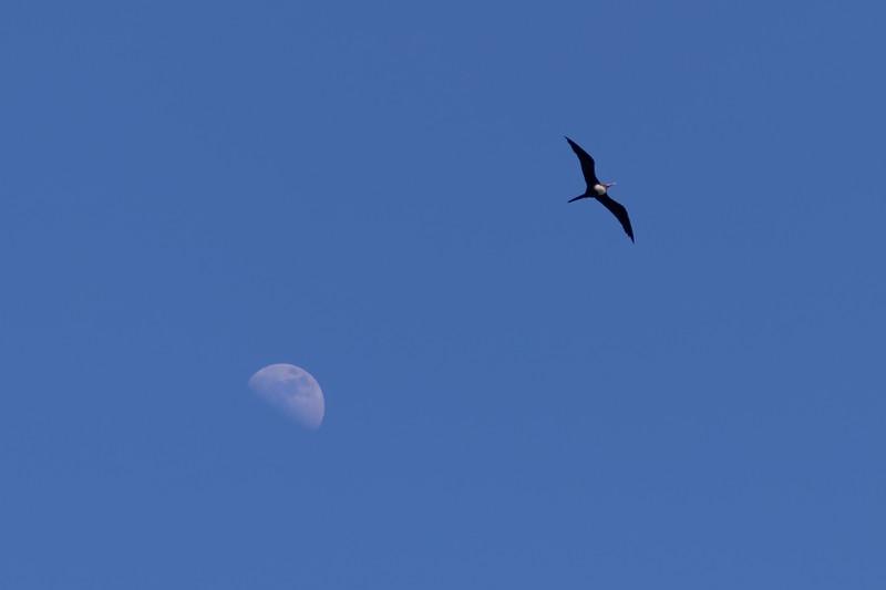 """Stealing The Moon""<br /> ('Iwa -- Frigata minor)"