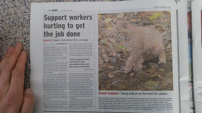 Thanks to the Vancouver Province, Sun and CBC News for publishing my bobcat photo, Nov 4, 2016