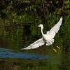 Great Egret, Gatorland, FL.