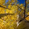 Aspens in the Fall, Eastern Sierra's, CA.