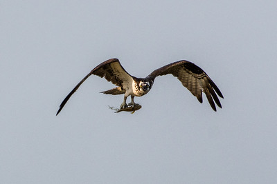 Osprey with fish in its talons (4)