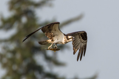 Osprey with fish in its talons (5)