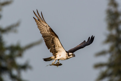 Osprey with fish in its talons (6)
