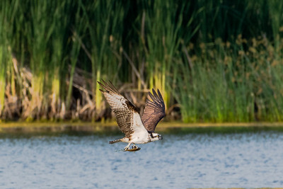 Osprey with fish in its talons (1)