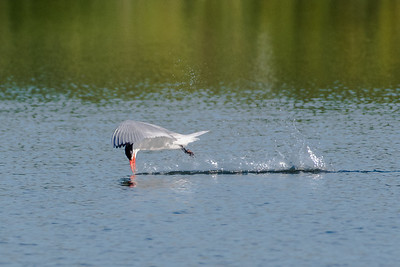 "Caspian Tern ""skims"" the water"
