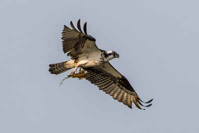 Osprey with fish in its talons (7)