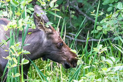 Moose calf browsing (1)