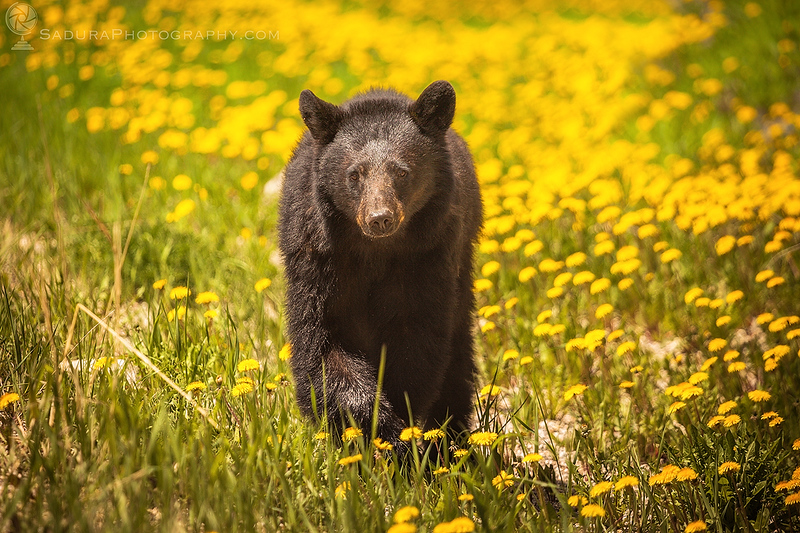 Bear in Jasper National Park in Canada