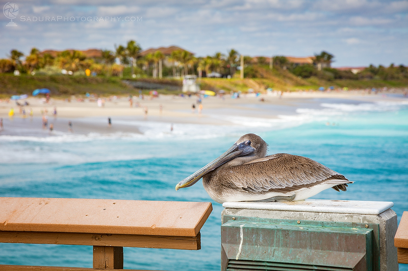 Pelican guarding Juno Beach Pier