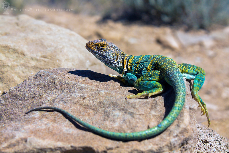 Collared Lizard in New Mexico