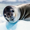 Smiling Leopard Seal