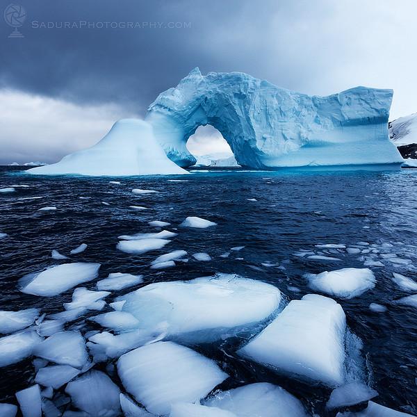 Swan in Antarctica