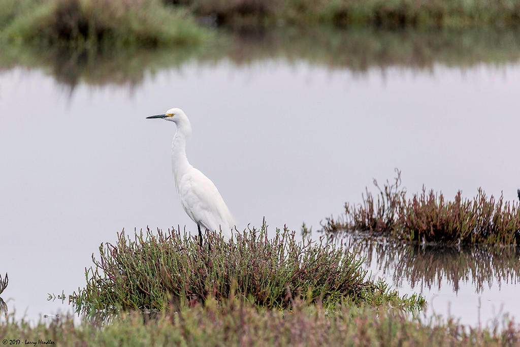 IMAGE: https://photos.smugmug.com/Latest-Uploads/Baylands-Palo-Alto/i-TQsJwCz/0/c6f620ff/XL/snowy%20egret-XL.jpg