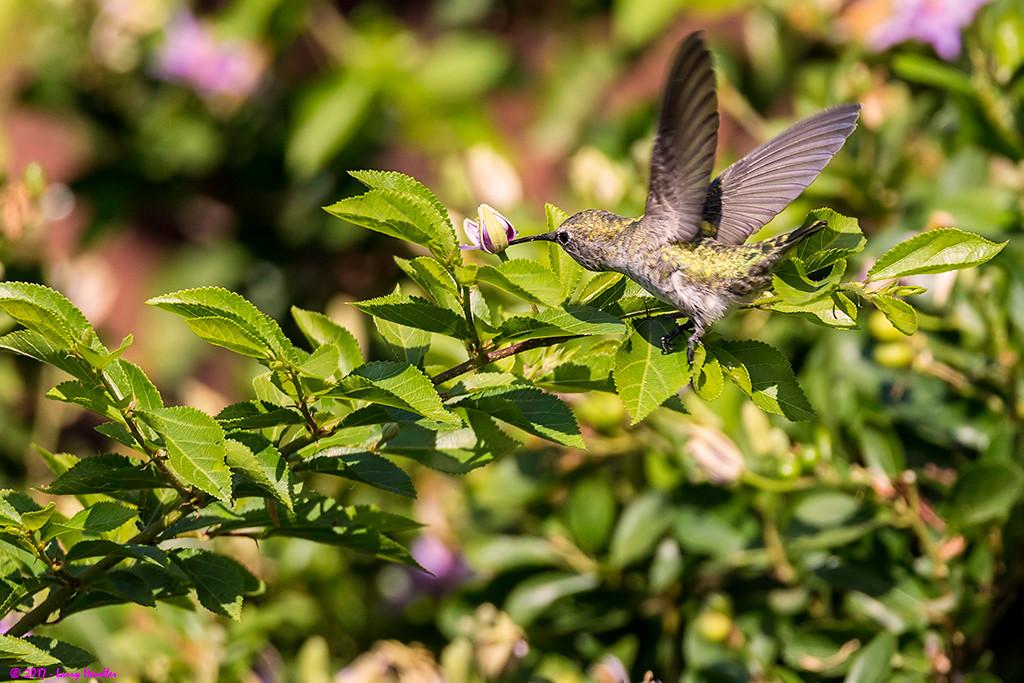 IMAGE: https://photos.smugmug.com/Latest-Uploads/Hummingbirds/i-L699S4B/0/f9f2b0c9/XL/3S9B7378-XL.jpg