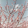 peach blooms on R A  Stallings farm1