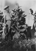 Family inspecting tobacco - JC