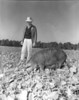 JC_LF_000476_Man in field with Sow c 1940s
