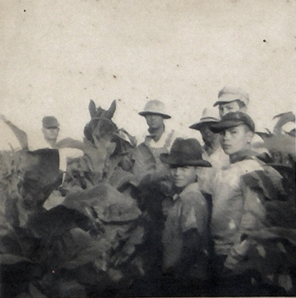 Tobacco farming with mules. Unknown year. Original photo and identifications needed.<br /> Photo scanned from photo of laminated image on display board in Enigma City Hall.<br /> Courtesy of Jo Annn Hammond Crews
