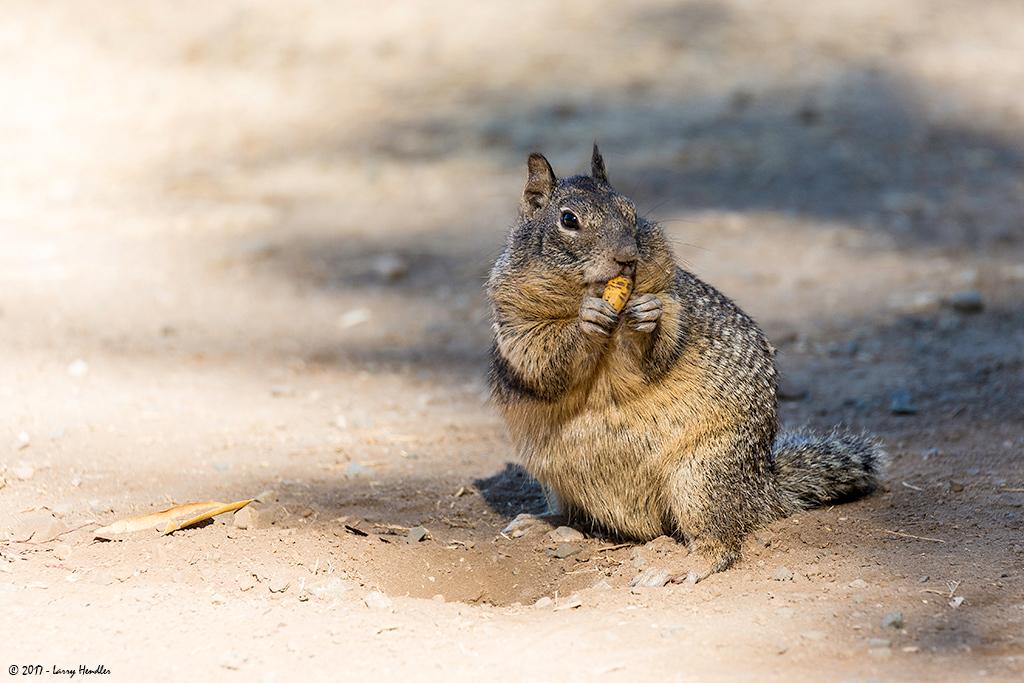 IMAGE: https://photos.smugmug.com/Latest-Uploads/Rancho-San-Antonio-Ground-Squirrels/i-4JZxLcx/0/fb8ecb96/O/3S9B9689.jpg