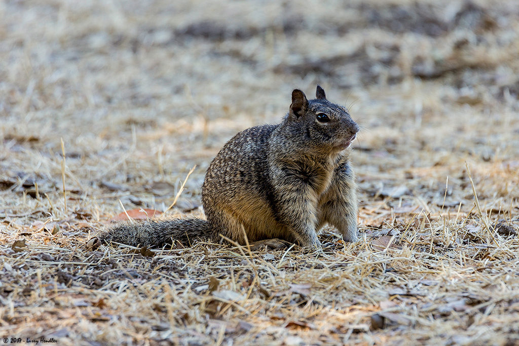 IMAGE: https://photos.smugmug.com/Latest-Uploads/Rancho-San-Antonio-Ground-Squirrels/i-B9mPhhB/0/35cdd5cd/O/3S9B9673.jpg
