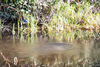 Canal Kingfisher Walk 251220