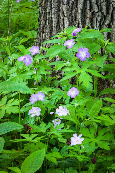 DFP 015<br /> <br /> A cluster of wild geranium adds a splash of purple to the emerging spring green vegetation.  Danada Forest Preserve, DuPage County, Illinois.