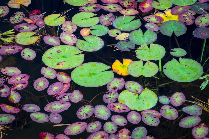 WI 171<br /> <br /> Lily pads begin to decay and change color on the shoreline of a small north woods lake in northern Wisconsin.