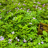 DFP 011<br /> <br /> DFP 010<br /> <br /> Wild geranium, a wildflower native to Midwest forest environments, adds a splash of color to the spring woods at Danada Forest Preserve, DuPage County, Illinois.