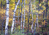 WI 159<br /> <br /> Autumn in the Northwoods, where a grove of birch trees is in peak color.  Norther Wisconsin.