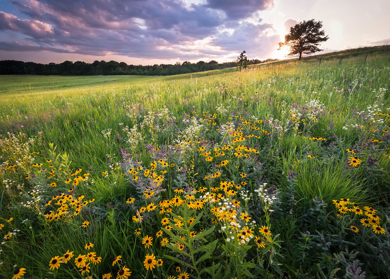 SFP 012<br /> <br /> The last rays of sunlight wash over a hillside of prairie wildflowers at Shoe Factory Road Prairie.  Cook County, Illinois.