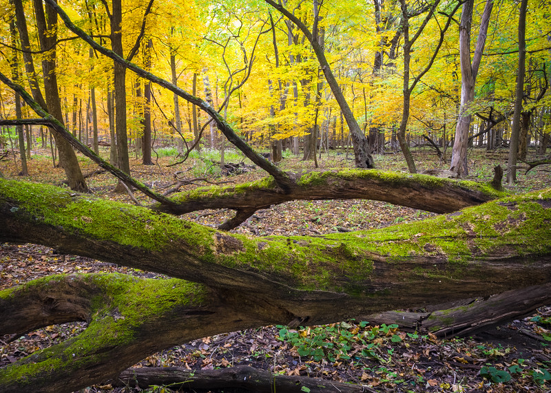 OW 030<br /> <br /> O'Hara Woods Forest Preserve dressed in peak autumn color.  Will County, Illinois.