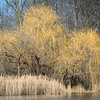 HL 008<br /> <br /> Willow trees in winter light on the shore of a small lake at Herrick Lake Forest Preserve in DuPage County, Illinois.