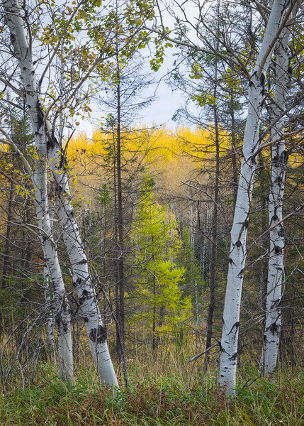 WI 198<br /> <br /> Birch trees and autumn color in a tamarack bog in norther Wisconsin.  Northern Highland-American Legion State Forest.