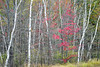 WI 162<br /> <br /> Birch trunks frame the crimson leaves of a maple tree in peak autumn color.  Northern Wisconsin