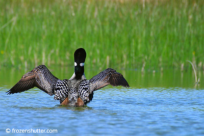 Loon Wingspan